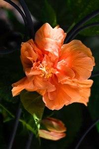 Apricot Hibiscus © Jamie B. Banta